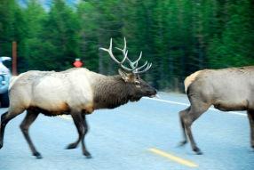 11 Elk