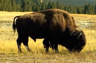 00 bison