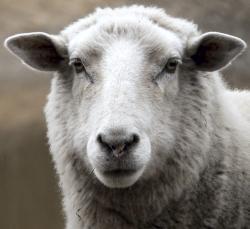 00 sheep